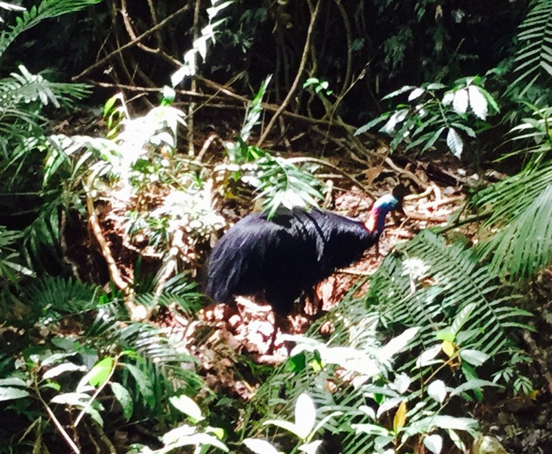 A male cassowary was foraging in the rainforest near a creek. A favorite meal is fruit of all sizes, but it also eats seeds, insects, and plants. We did not see a female.