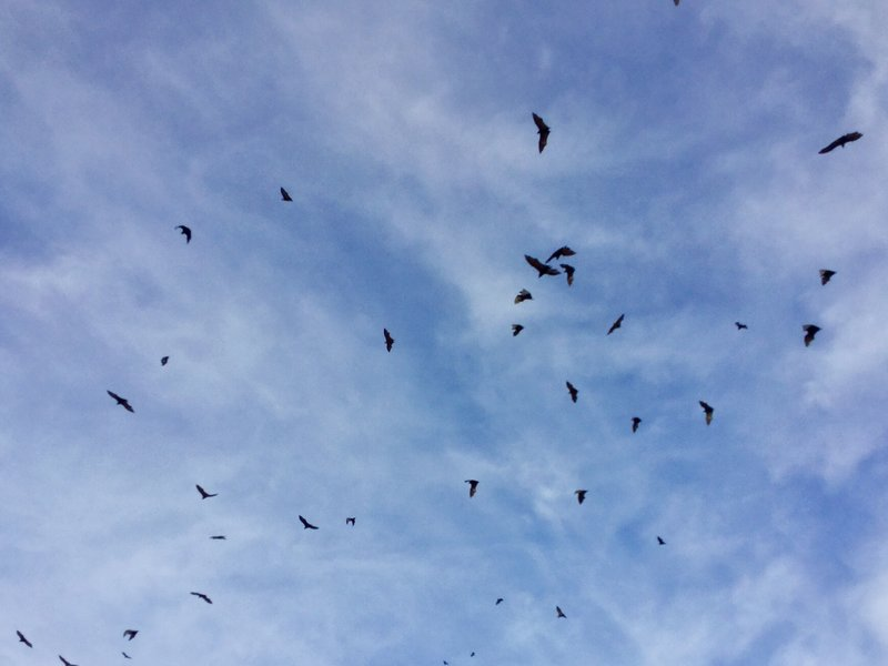 The evening sky in Cairns was filled with flying foxes.