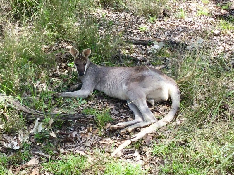 Some areas of the park have these friendly swamp wallabies hanging out. This was the first time that we had seen this particular type of wallaby. Such a cute face!
