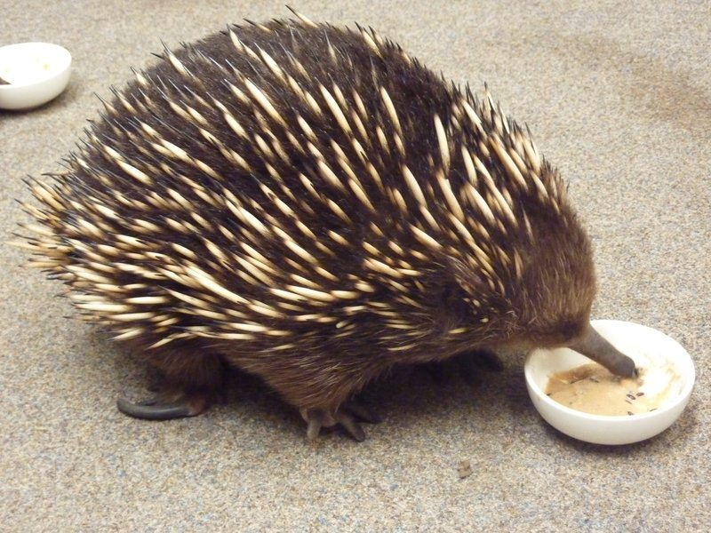 """This echidna looks like it should be related to a hedgehog or a porcupine, or if you see his tongue, an anteater, but his closest relative is the platypus.  They are both monotremes (egg-laying mammals).  This one was in captivity, but we have seen them several times crossing the road and in parks.  My favorite fact...the babies are called """"puggles."""