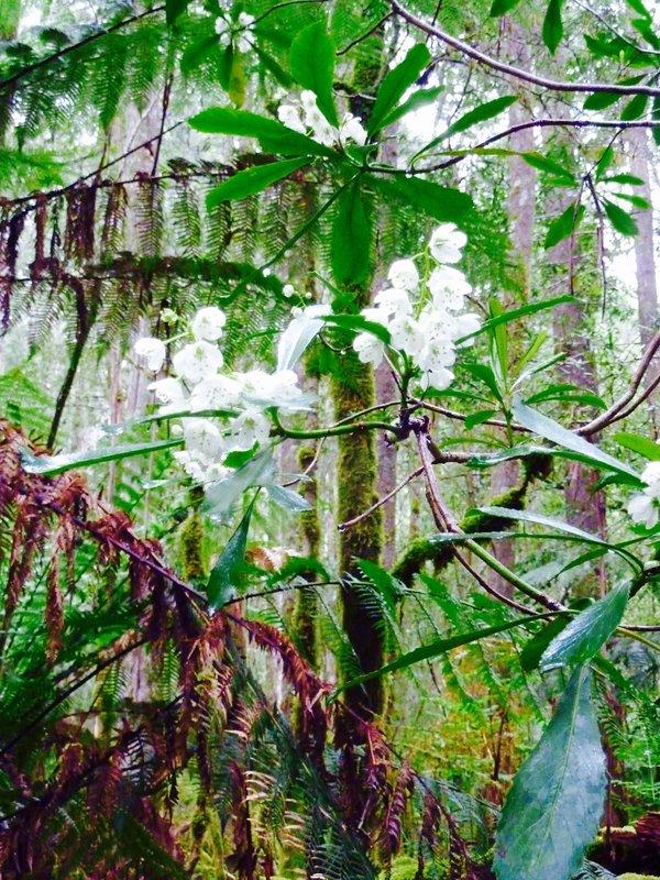 Flowering eucalyptus along rainforest walk at Mount Field NP.