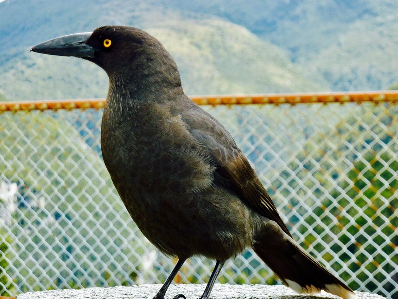 He is a Pied Currawong distinguished by the white on his tail and his bright yellow eyes.