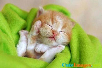 littlekitten-sleeping-in-a-blanket-images-cuteimages.net