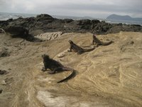 Galapagos - Marine iguanas taking a sunbath at Puerto Egas