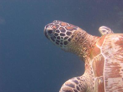 Palau Sipidan turtle