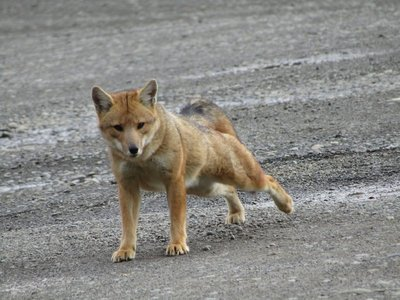 A fox that hung out in the parking lot in the national park