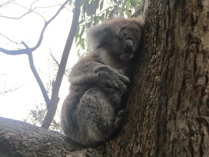 1 of 4 koalas in the trees at Kennett River