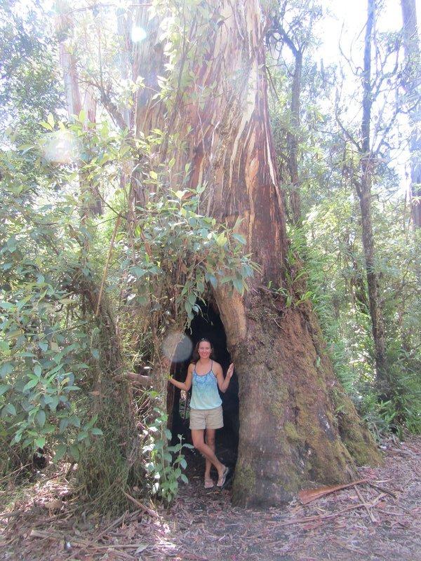 Jill in a tree at Maits Rest Rainforest walk