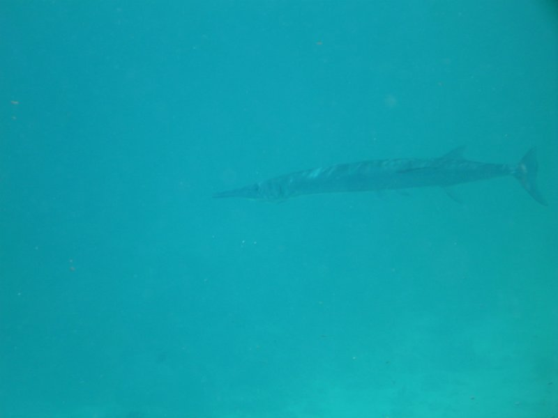 2 feet long Longtoms swimming around the sardine bowl hoping for a snack