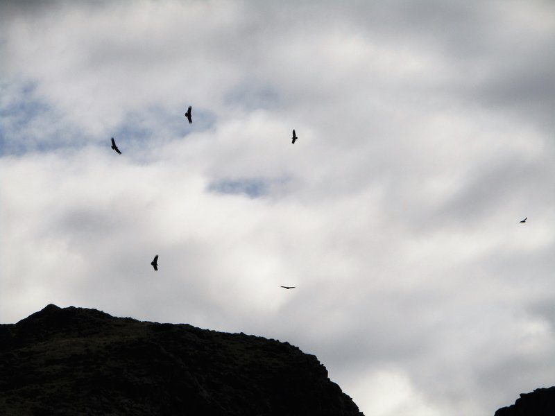 6 condors