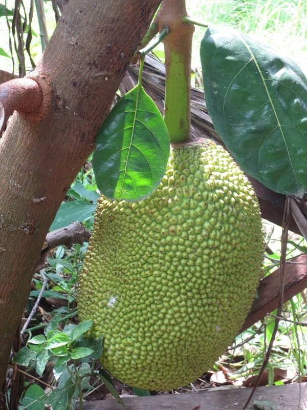 Durien, a stinky fruit that is strictly forbidden in hotels due to its smell