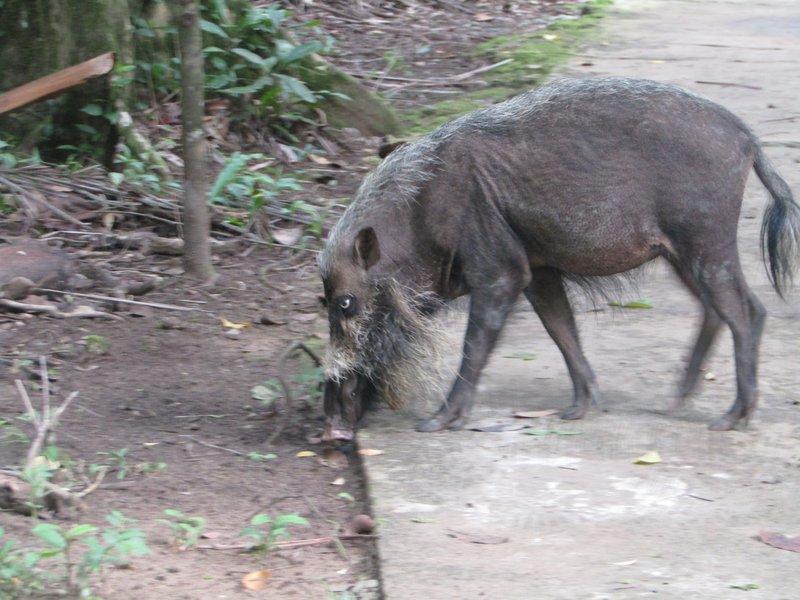 A bearded pig
