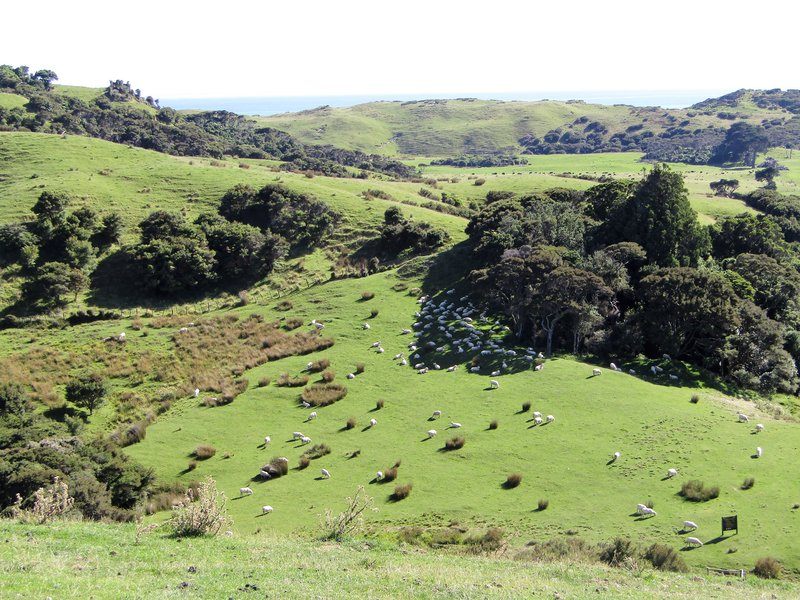 A common sight in New Zealand, sheep on Farewell Spit