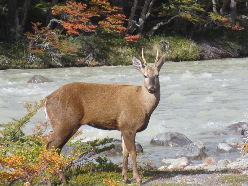 A huemul, an endangered Andean deer.  Only 1000 left