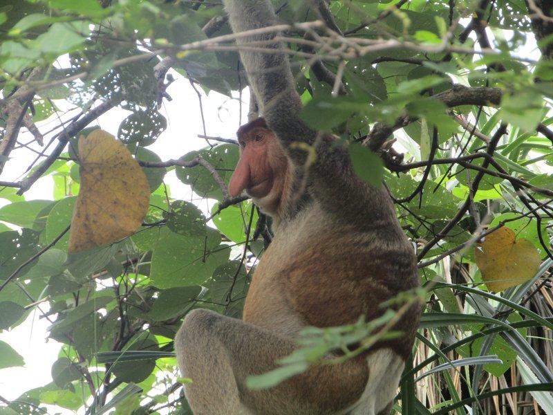 A proboscus monkey