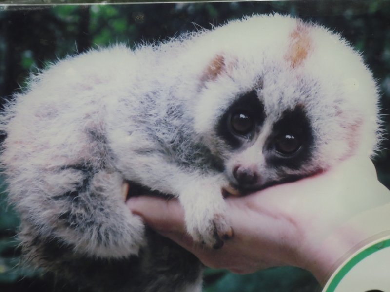 Bengal slow loris- nocturnal, so we didn't see them