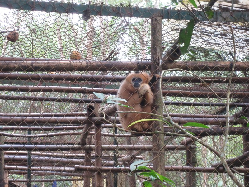 Captivity does not suit this gibbon