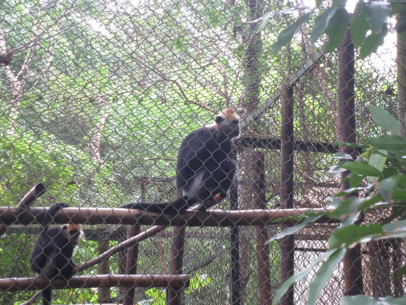 Cat Ba Langur- only 65 left on the planet, only on Cat Ba Island
