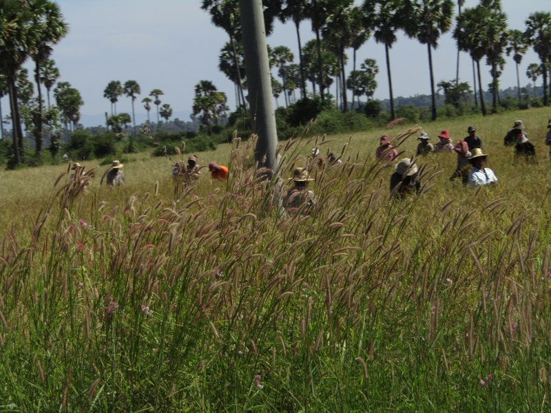 Harvesting rice by hand