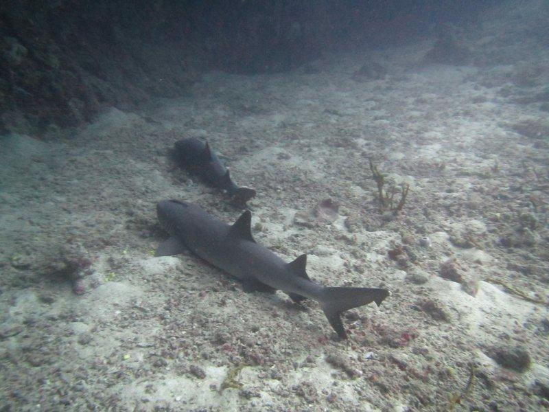 2 white tip sharks