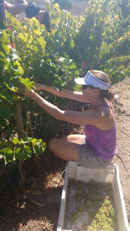 Jill pickings grapes