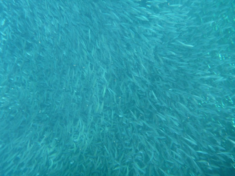 Indescribable how many sardines there are