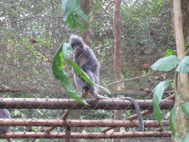 Indochinese gray langur