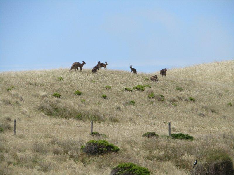 Kangaroos at Cape Bridgewater