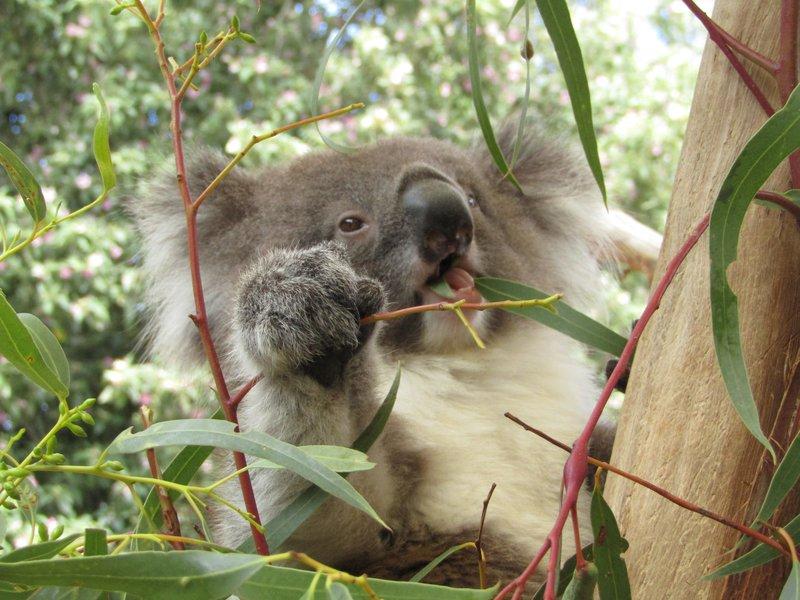 Koala eating gum tree leaves