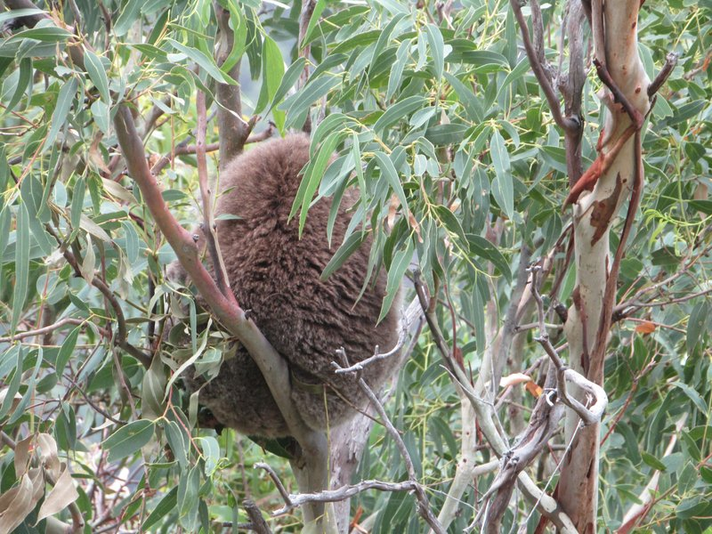 Koala we saw sleeping on the Teddy's lookout trail