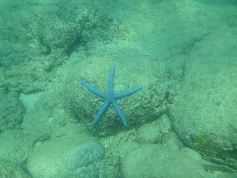 Lavendar starfish