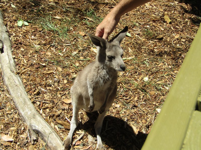 Loic petting a baby kangaroo