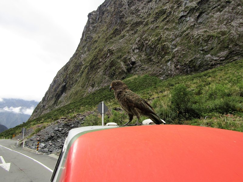 This bird landed on our campervan while waiting at the Homer Tunnel