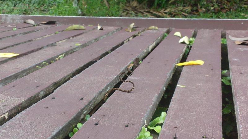 Whip snake creeping onto the boardwalk