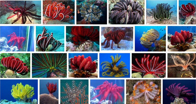 large_feather_star_fish.png