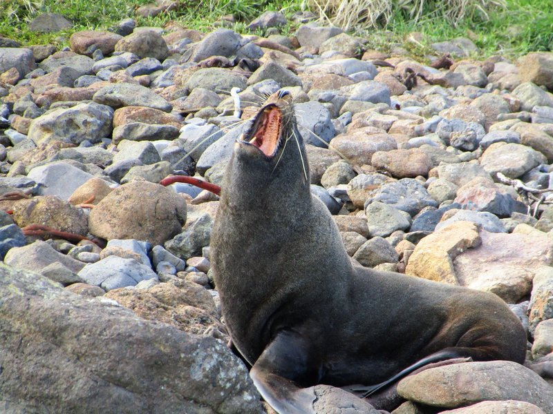 seal lion at sandfly bay
