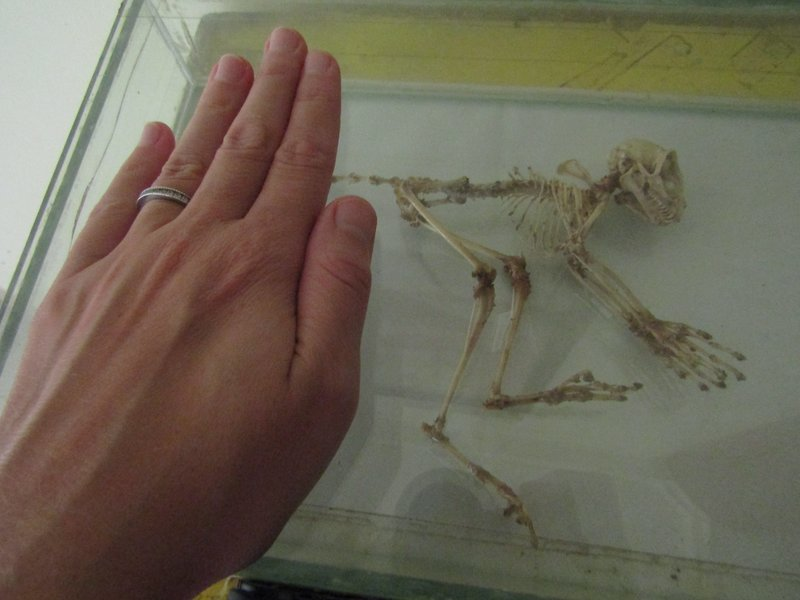 skeleton of a tarsier