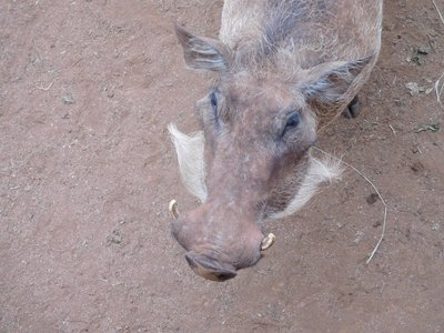 handsome whiskered warthog