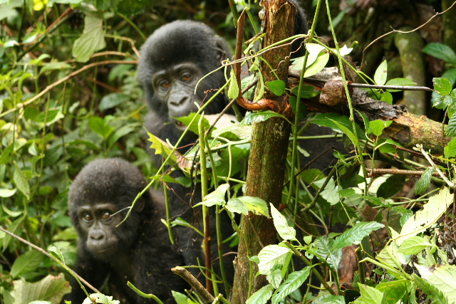 baby gorillas