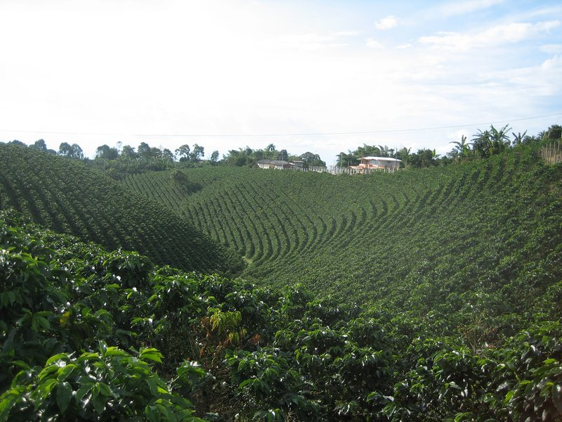 Coffe fields Pereira