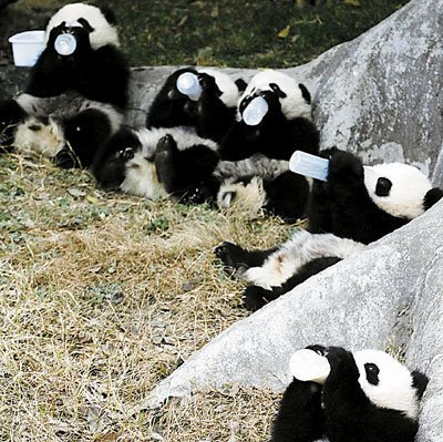 Giant pandas after earthquake