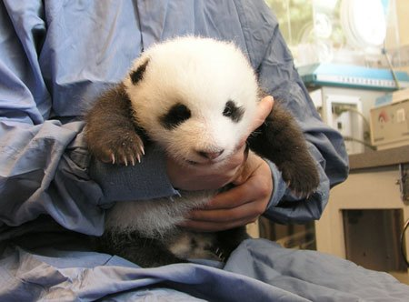 Giant pandas after earthquake 2
