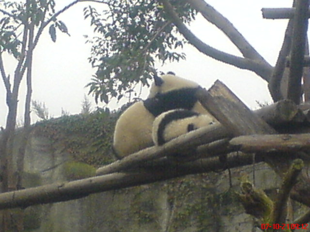 Giant panda-Playing 3