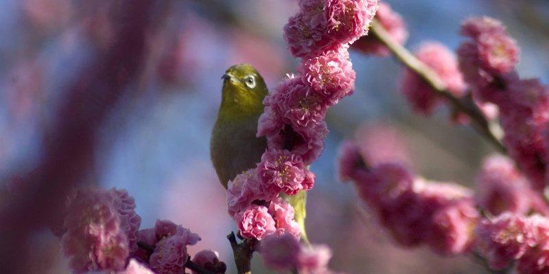 Cherry_Blossom_02