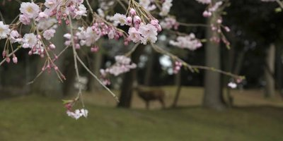 Cherry_Blossom_07
