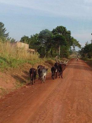 Angola cattle