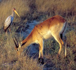 Red Lechwe & Saddle Billed Stork