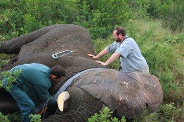 Elephant Collaring