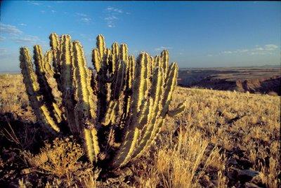 Cactus in Setting Sun