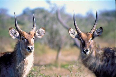 Waterbucks